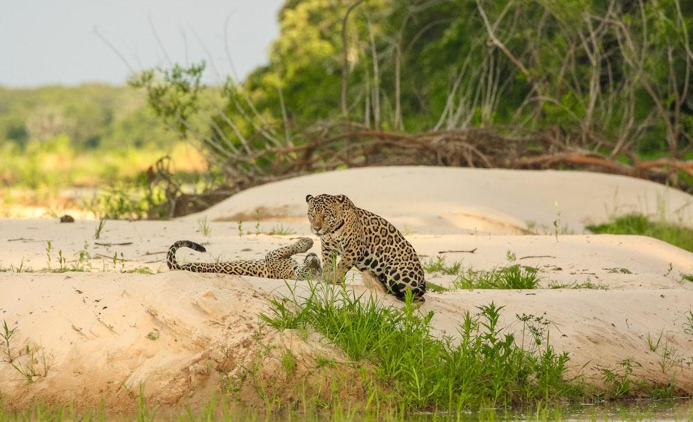 leopard walking on brown sand during daytime