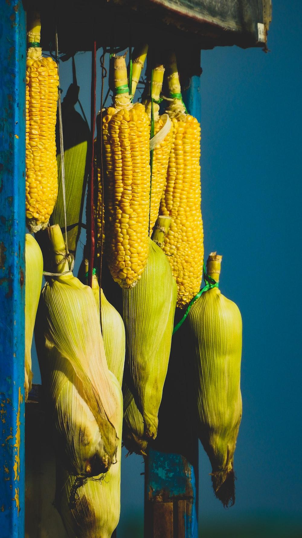 yellow corn on blue background