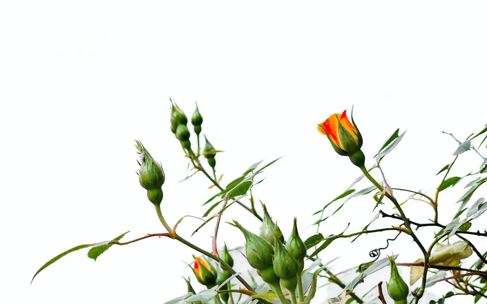 red and green flower buds