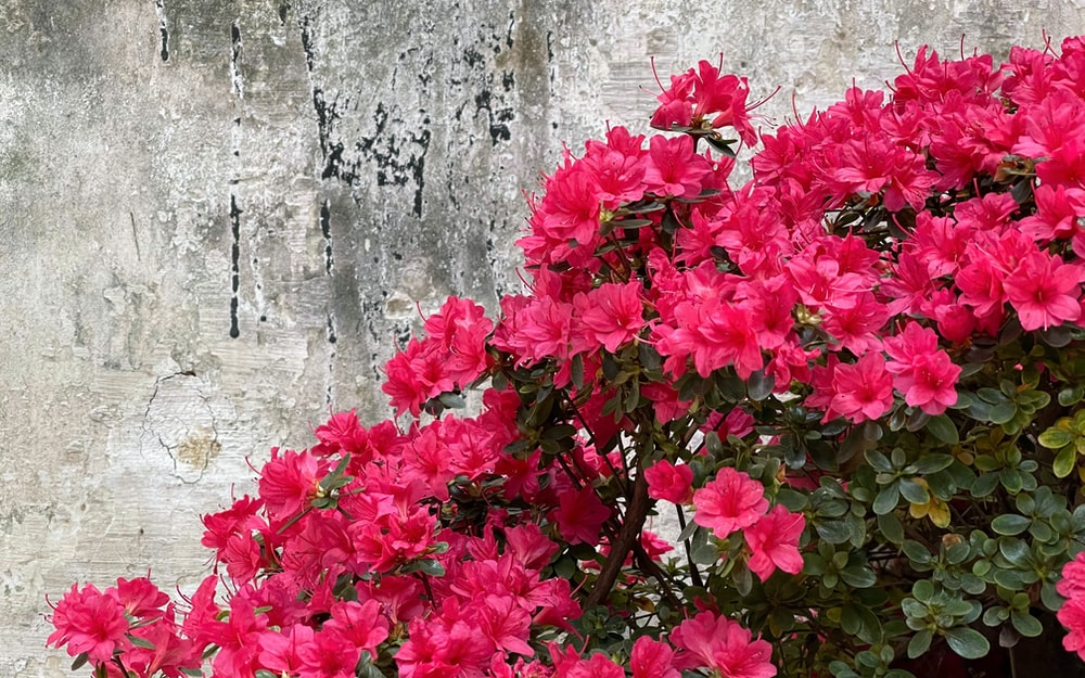 red flowers on gray concrete wall