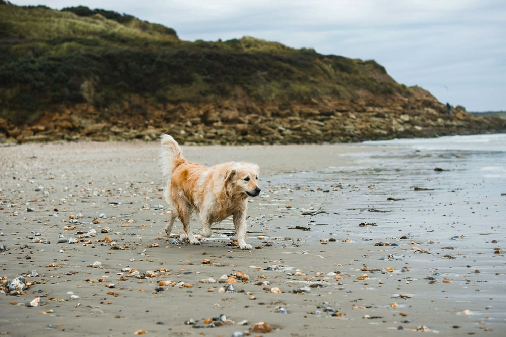 golden retriever running on the beach during daytime