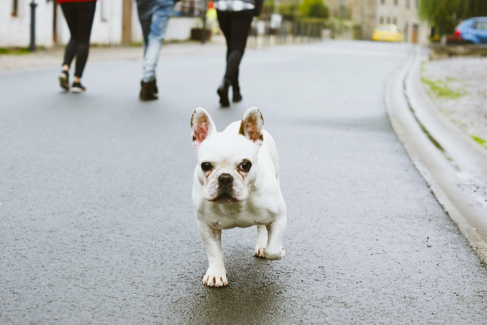 white and brown french bulldog puppy on gray concrete road during daytime