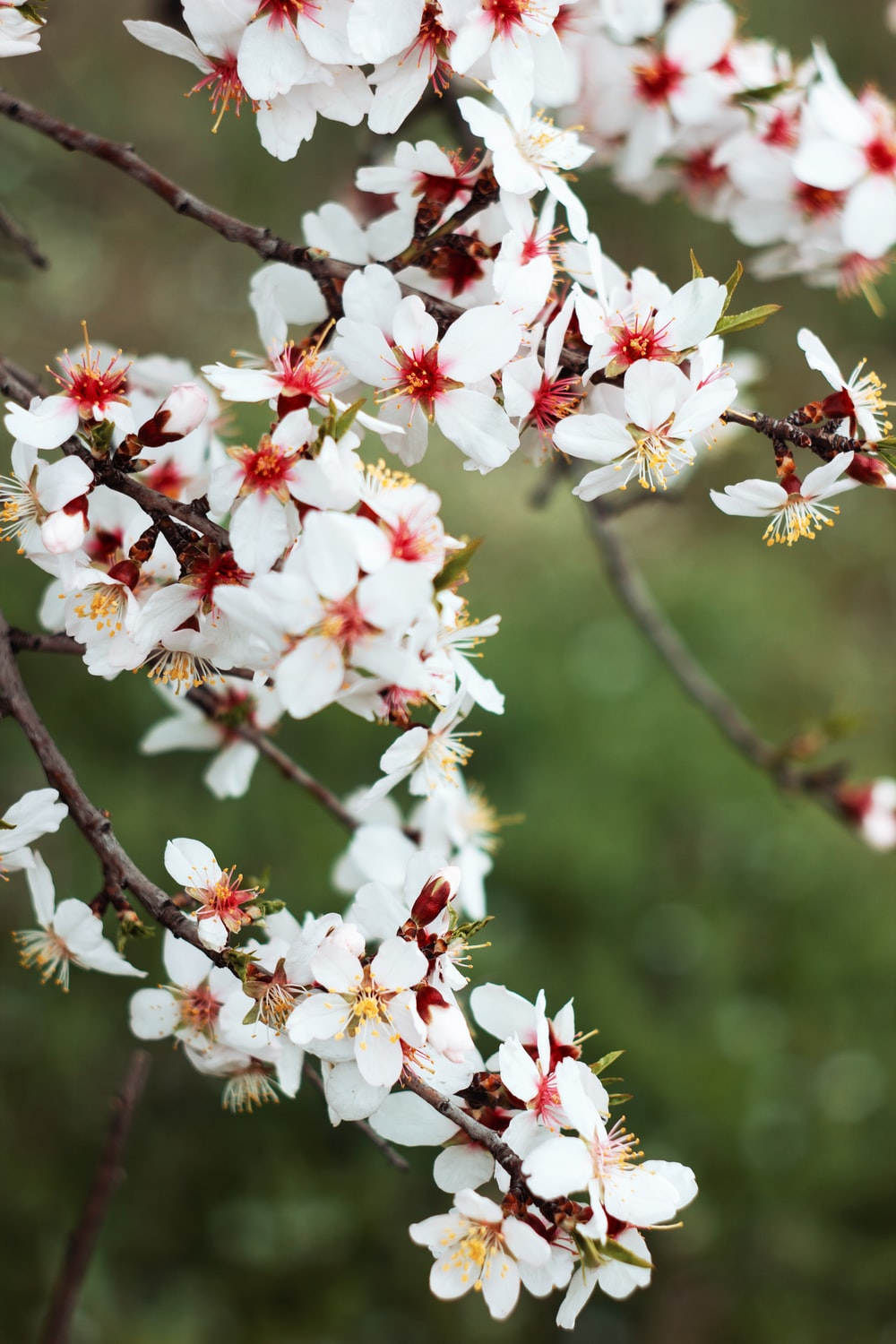 white and red cherry blossom flowers in bloom during daytime