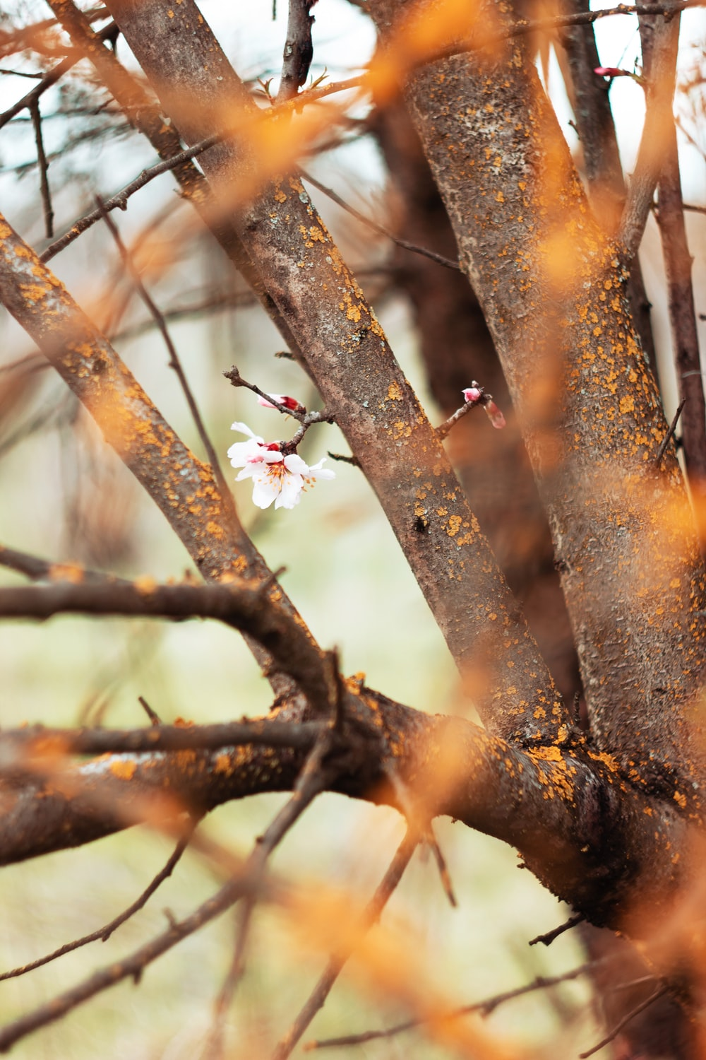 red and white flower buds on brown tree branch