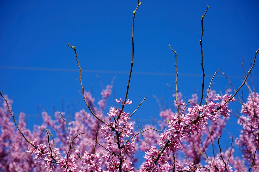 white and pink cherry blossom under blue sky during daytime
