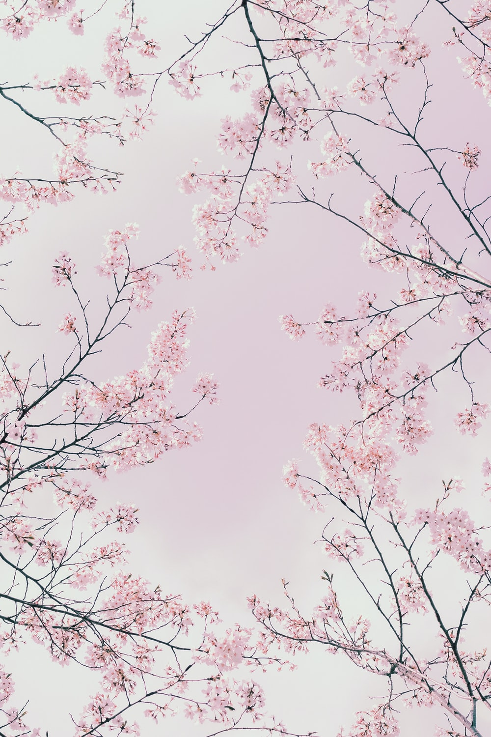 pink cherry blossom tree under white clouds