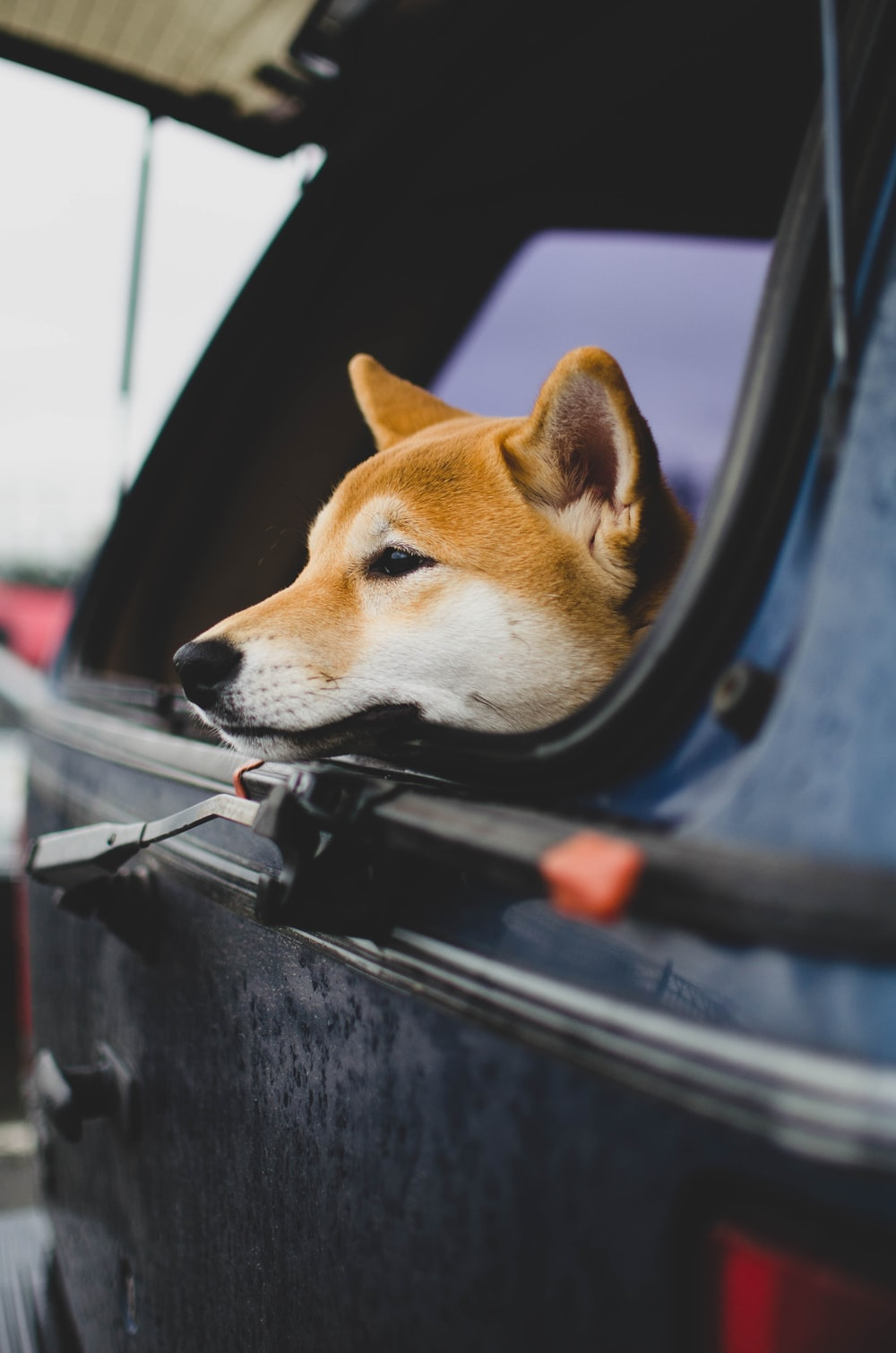 brown and white short coated dog in car