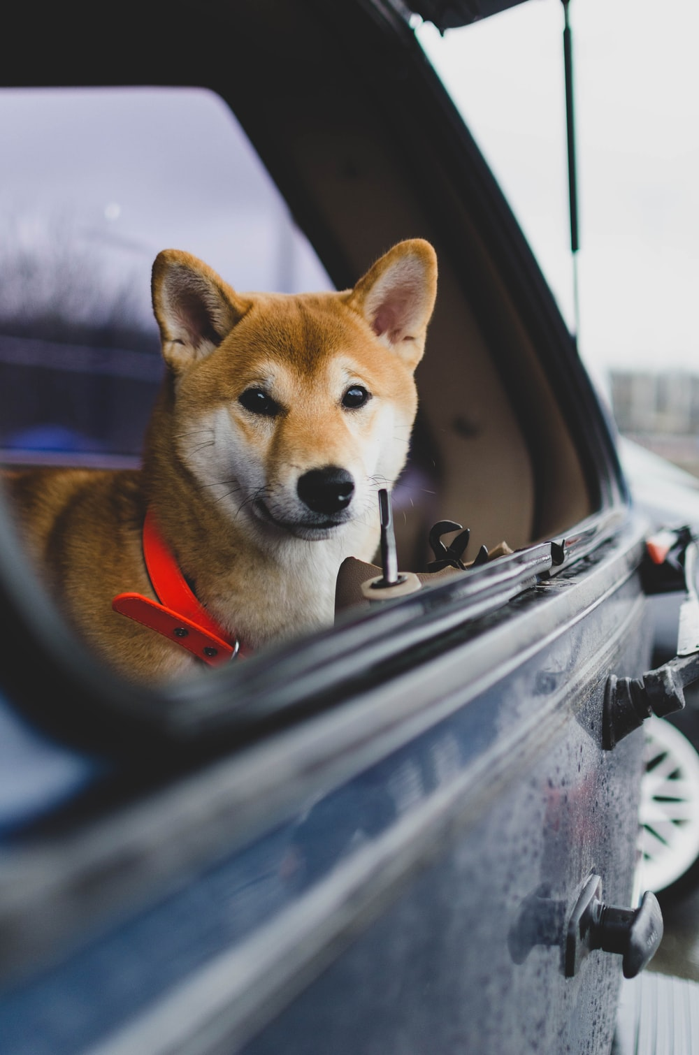 brown and white dog in car