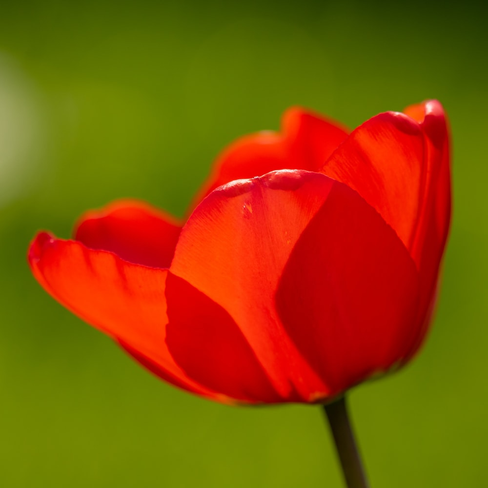 red tulip in bloom during daytime