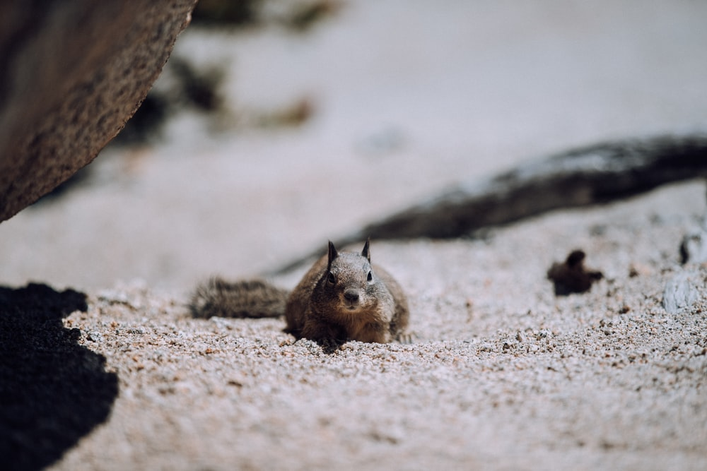 brown squirrel on brown sand during daytime