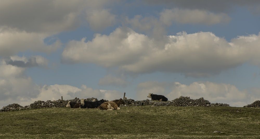 herd of sheep on green grass field under cloudy sky during daytime