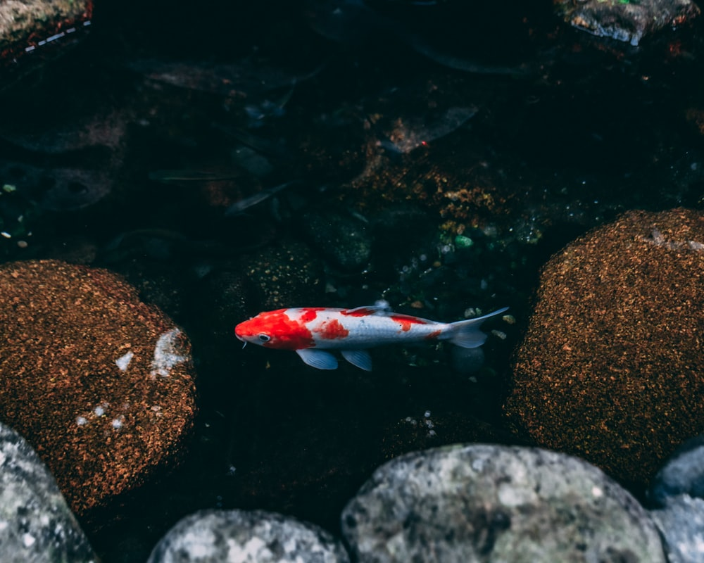 red and white fish on water