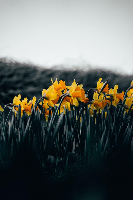yellow flowers on green grass field