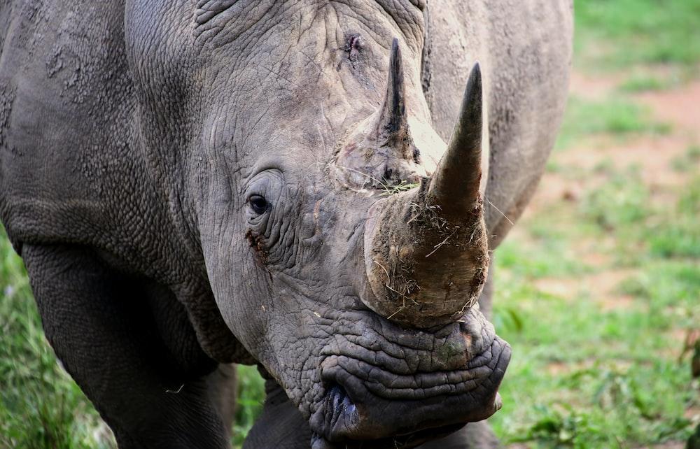 grey rhinoceros on green grass during daytime