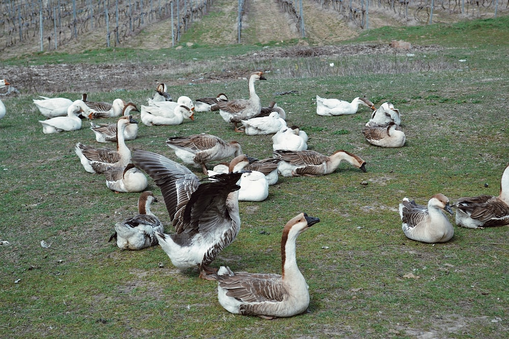 flock of geese on green grass field during daytime