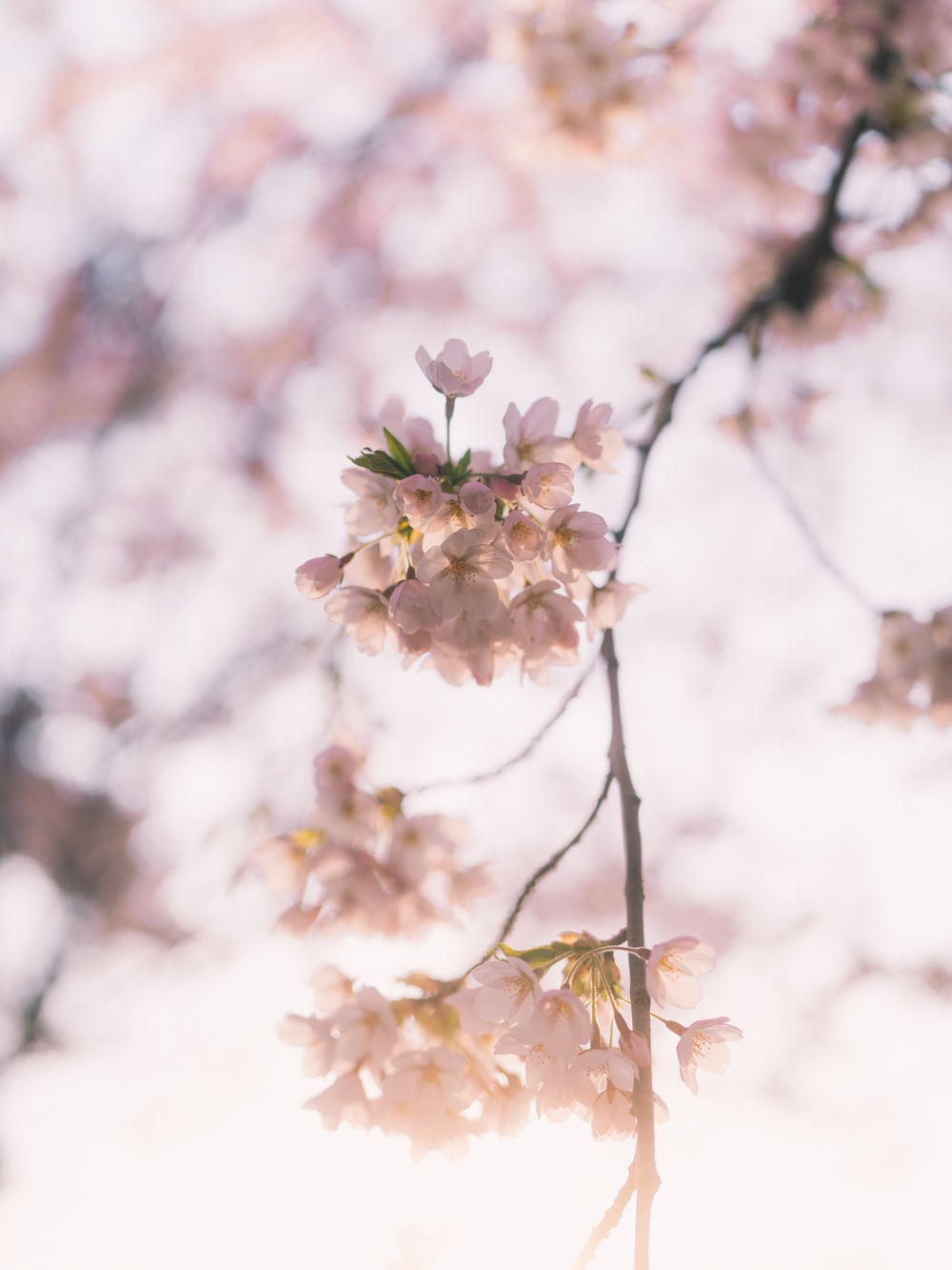 white and pink cherry blossom in close up photography