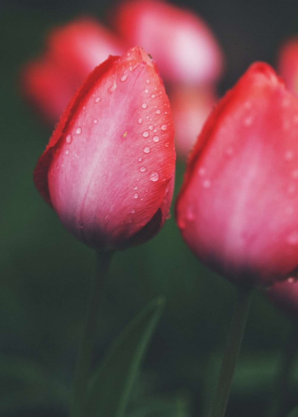 pink tulip with water droplets