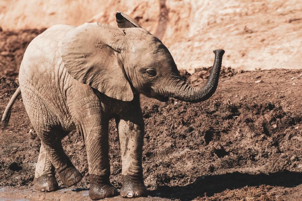 elephant walking on brown soil during daytime