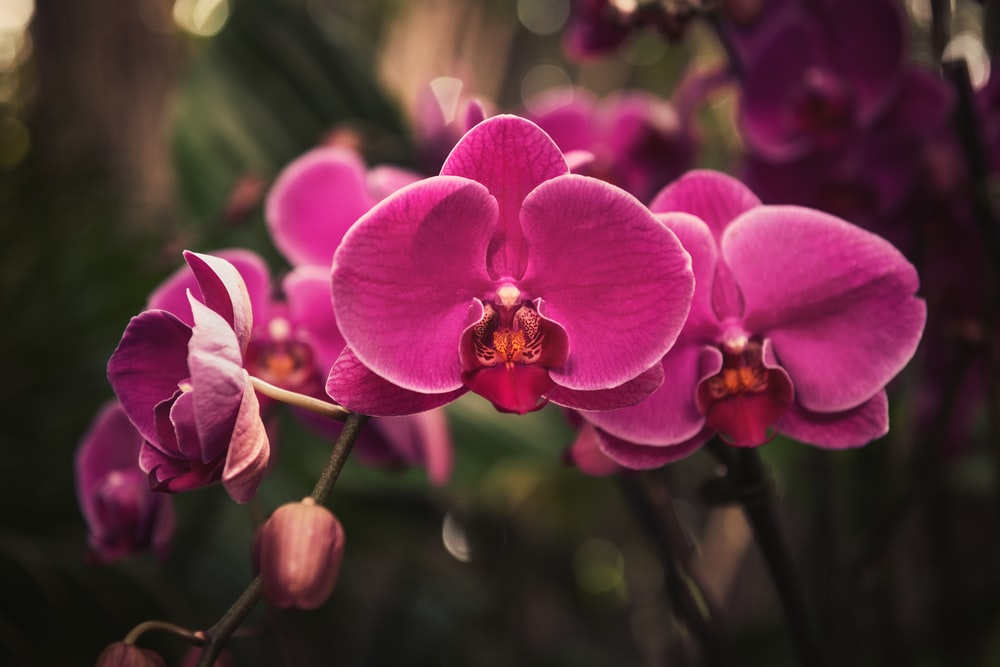 pink moth orchid in bloom during daytime