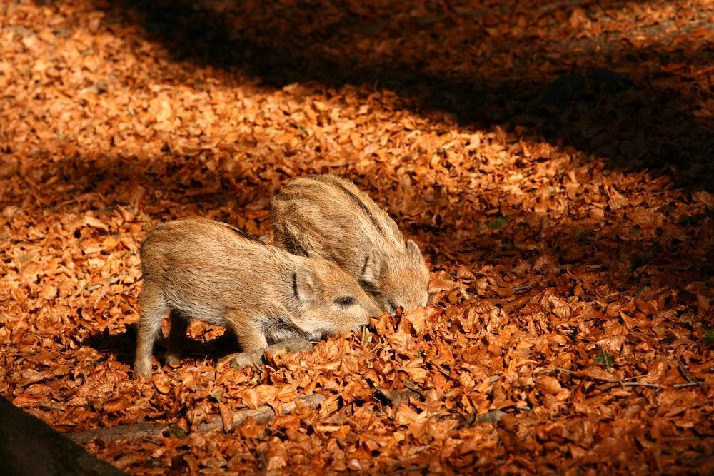 brown animal on brown leaves