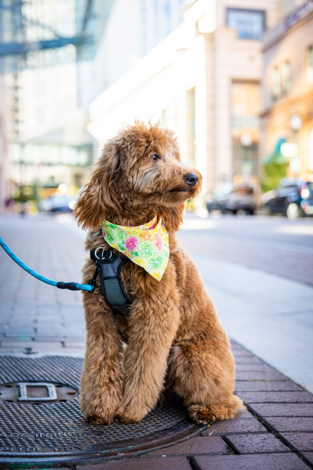 brown poodle with green and pink leash