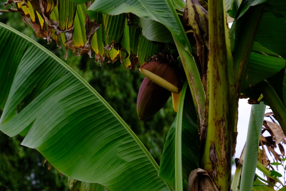 banana tree with green leaves