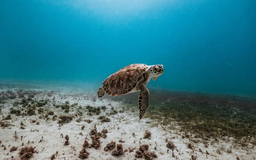 brown and black turtle under water
