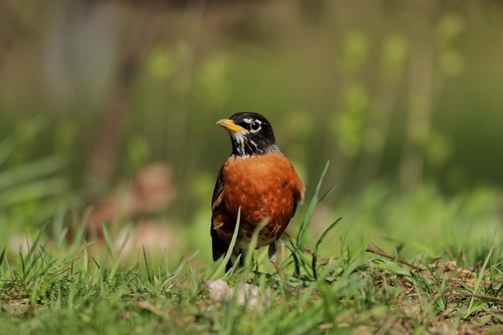black and brown bird on green grass during daytime
