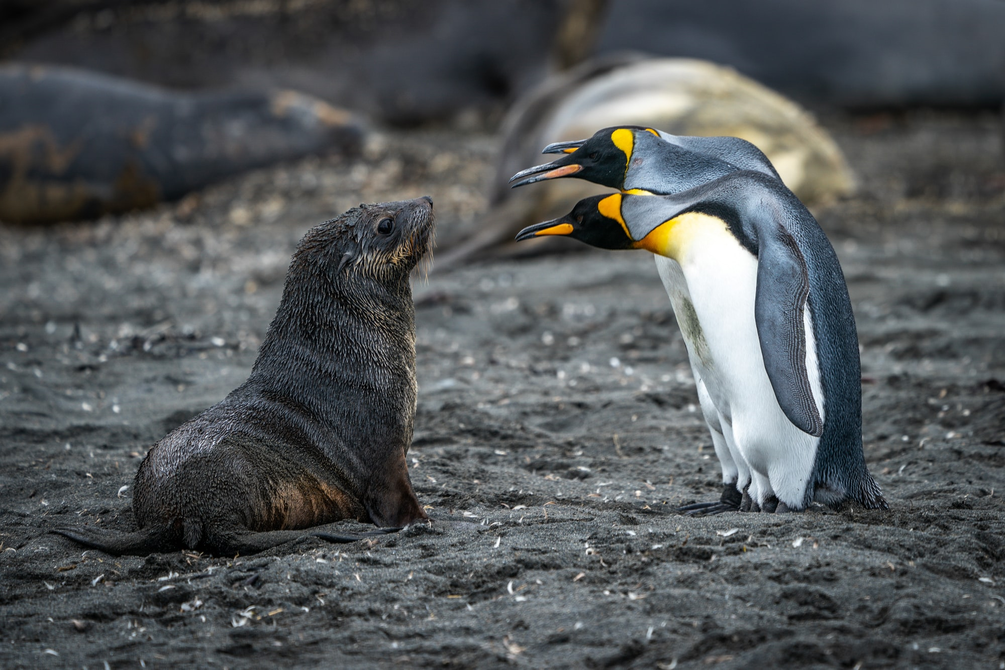 Penguins and an inquisitive seal pup face off on a beach in South Georgia.