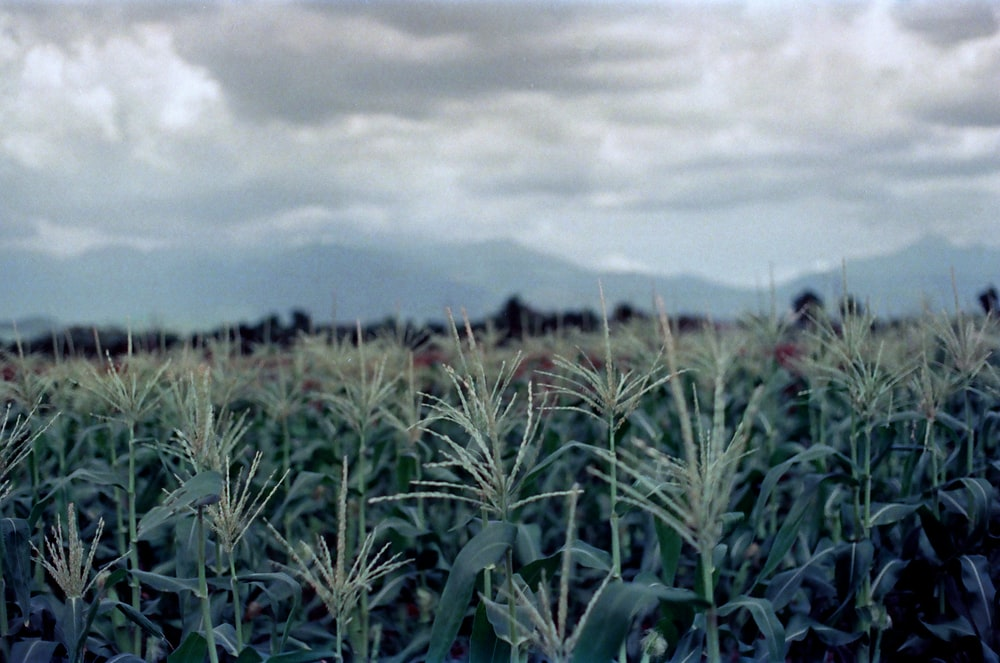 green wheat field under cloudy sky during daytime