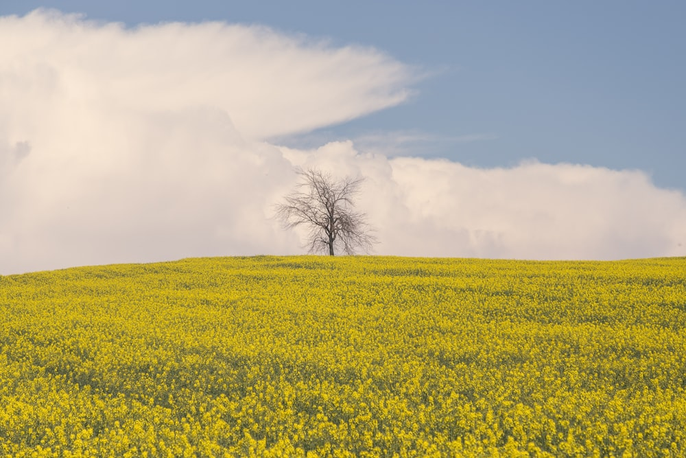 yellow flower field under white clouds during daytime