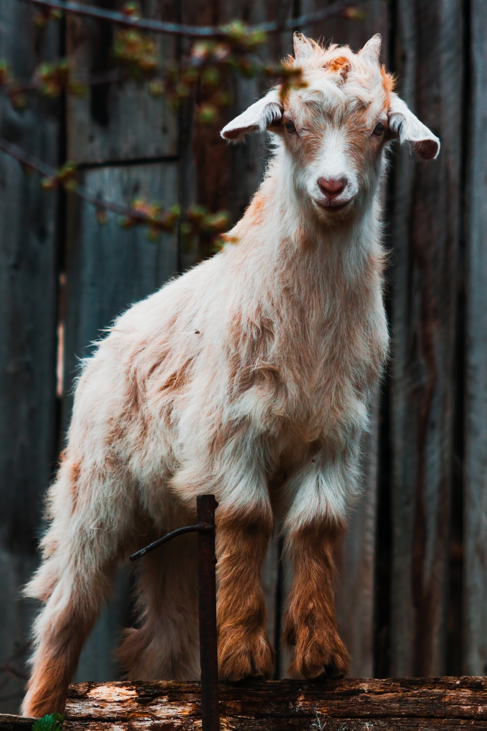 white goat standing on brown wooden fence during daytime