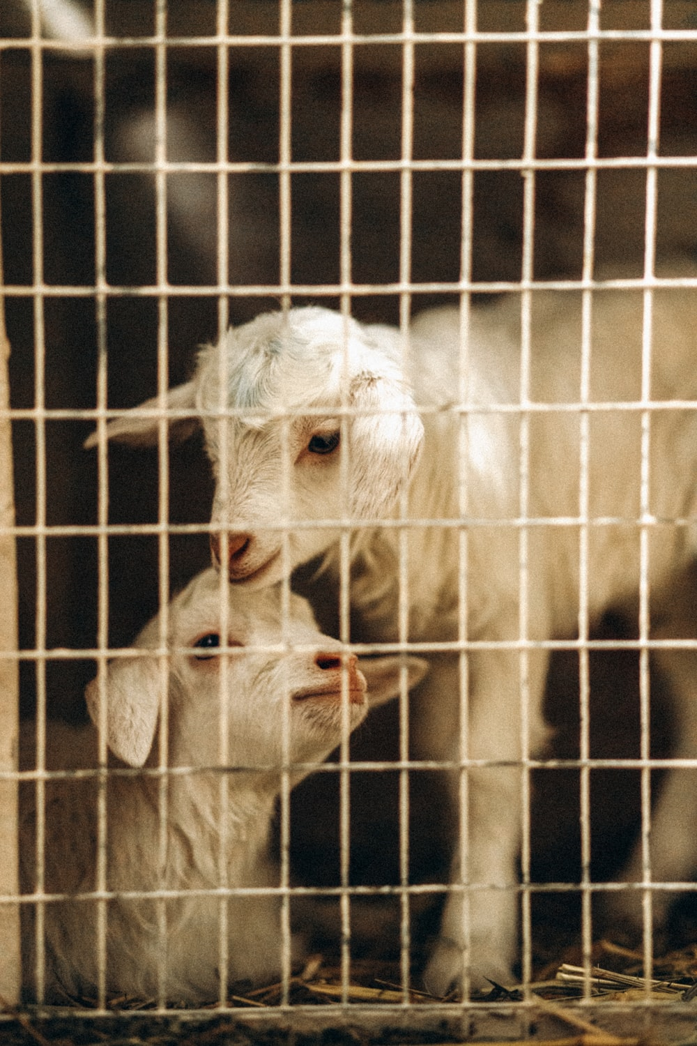 white goat in cage during daytime