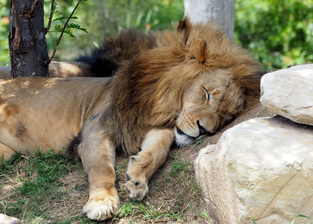 lion lying on gray rock during daytime