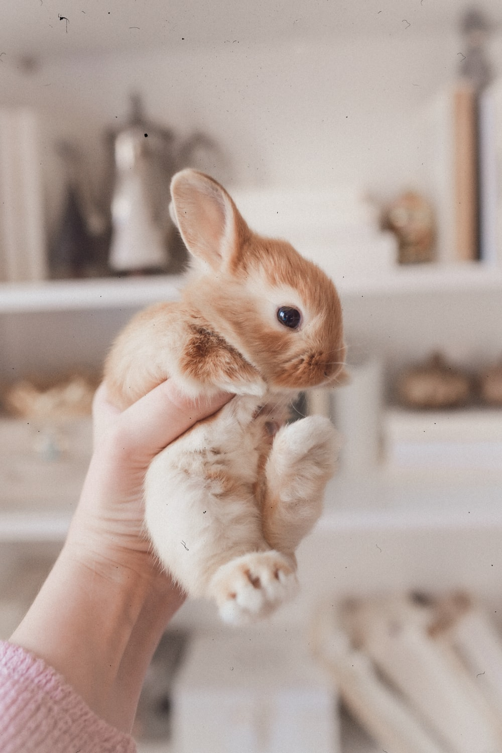person holding white and brown rabbit