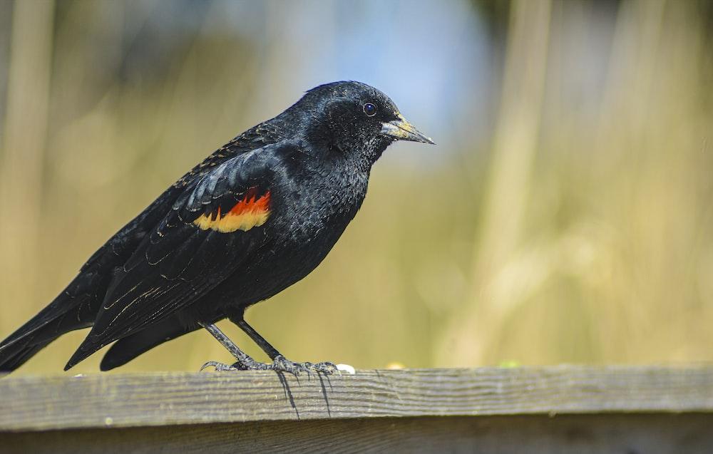 black bird on brown wooden plank