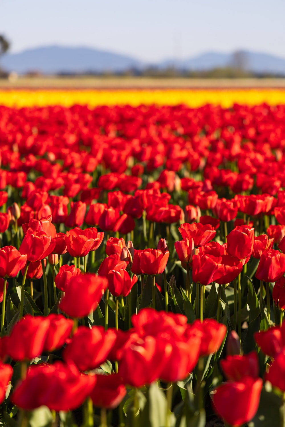 red tulips field during daytime