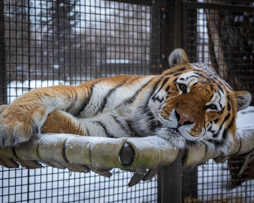 tiger in cage during daytime