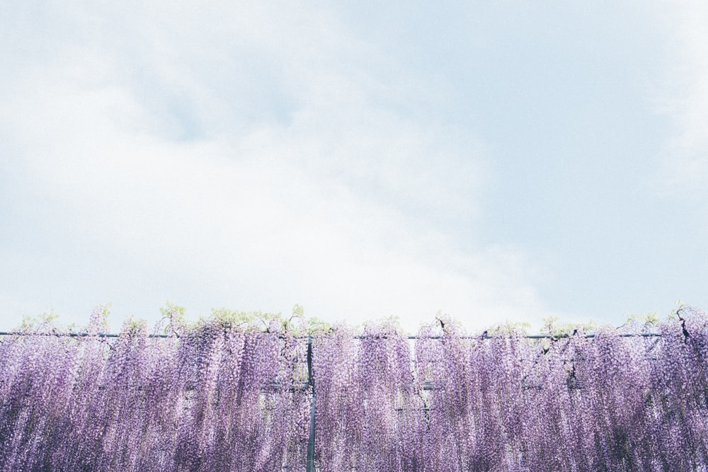 purple and white flower field