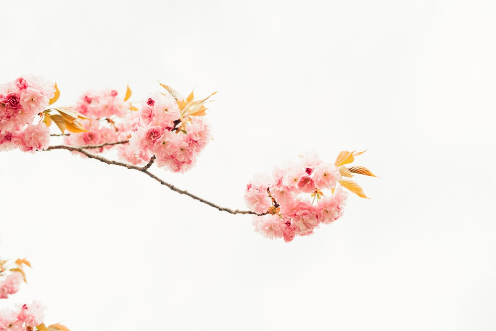 pink and white flowers on white background