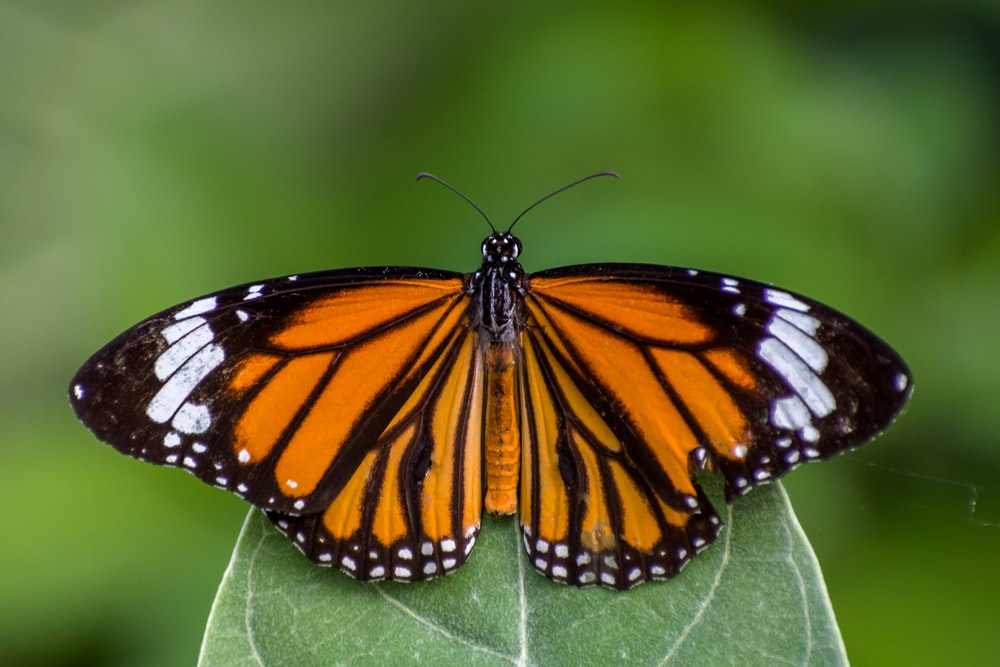 monarch butterfly perched on green leaf in close up photography during daytime