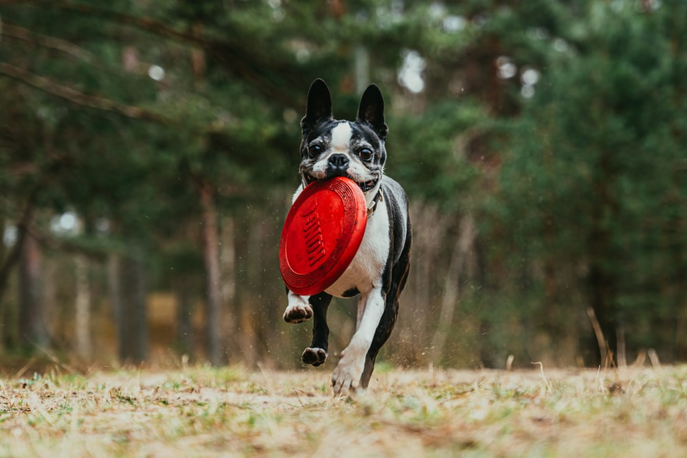 black and white short coated dog running on brown grass field during daytime