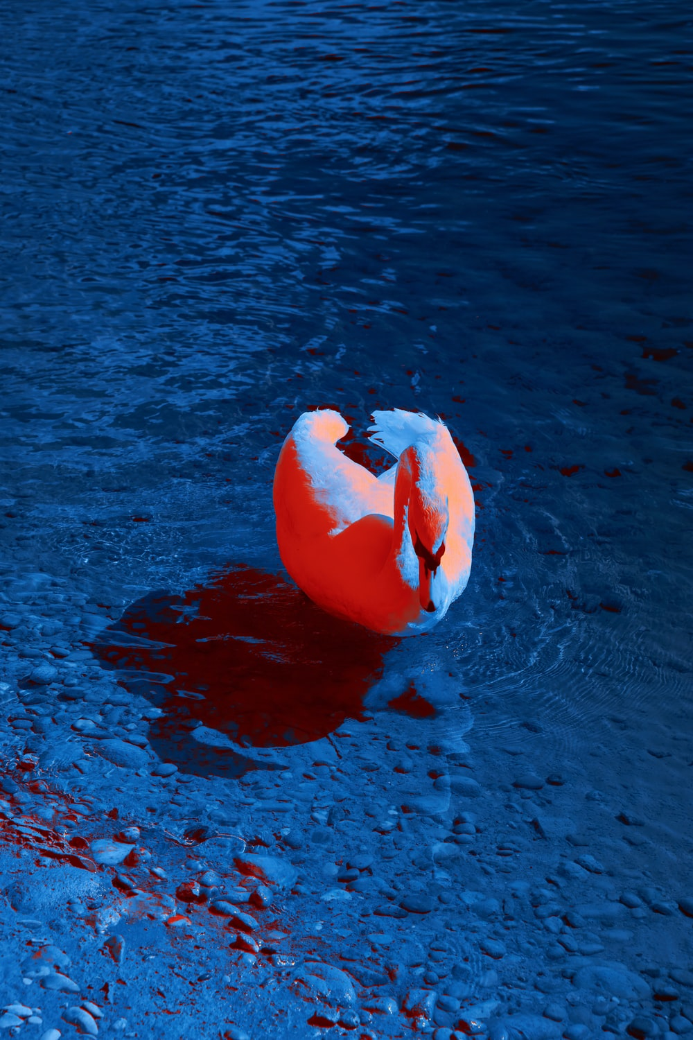 white and pink swan on water during daytime