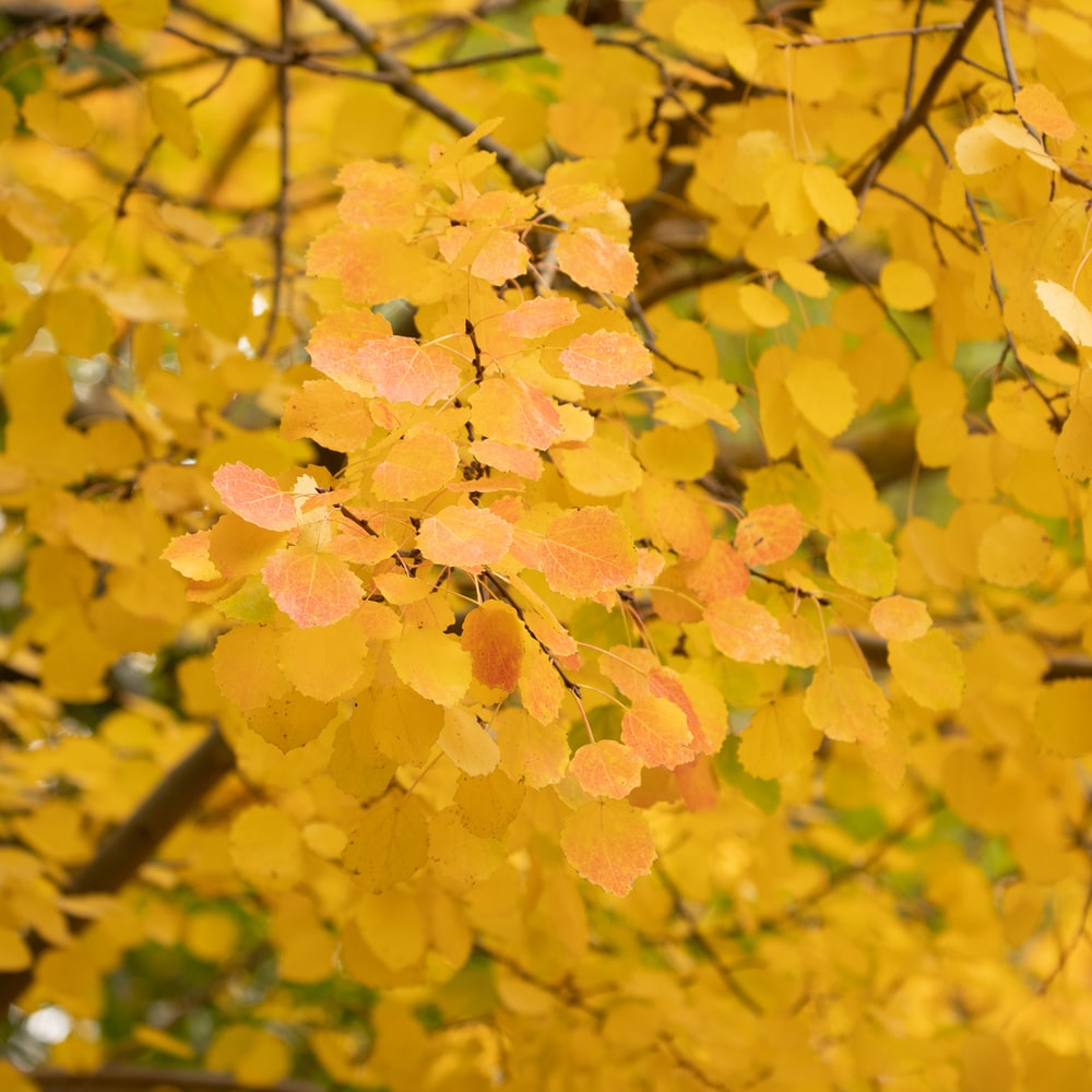 yellow leaves on tree branch during daytime