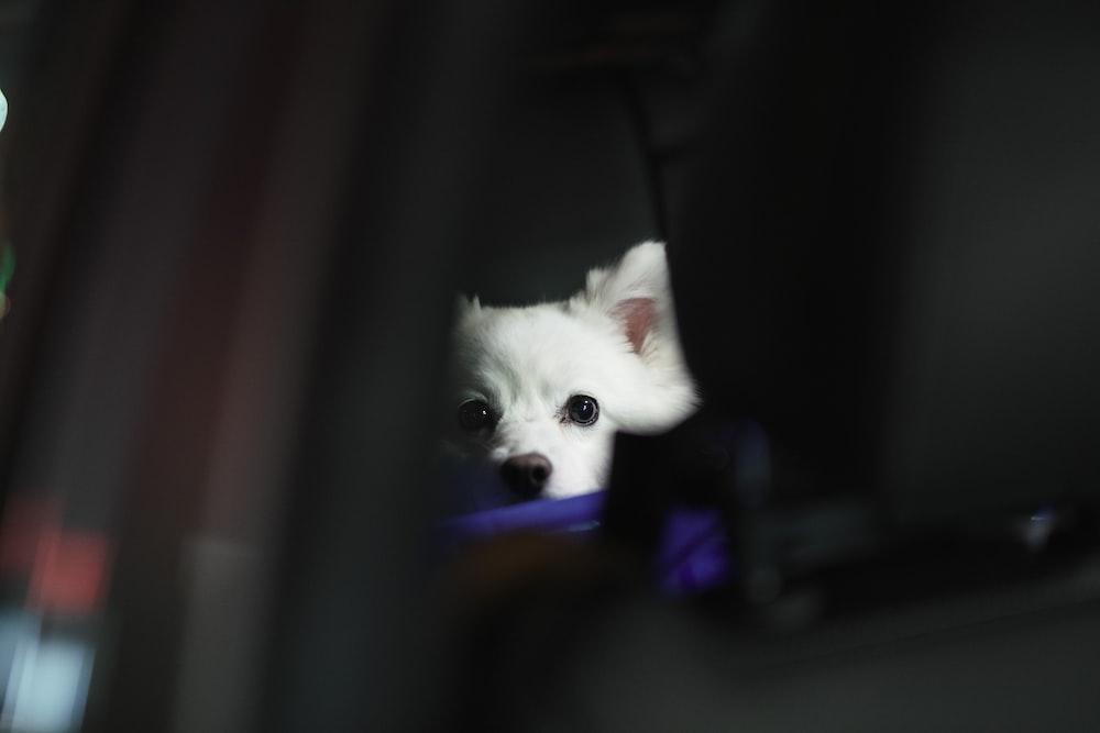 white pomeranian puppy on black textile