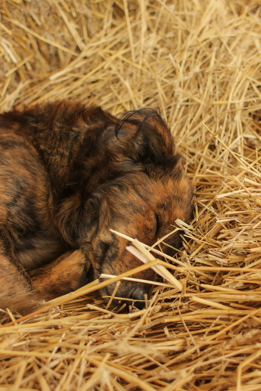 brown and black short coated dog lying on brown grass