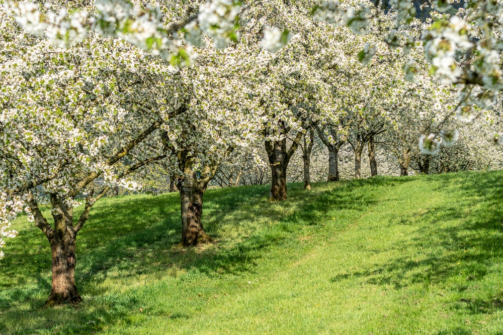 white cherry blossom tree on green grass field during daytime
