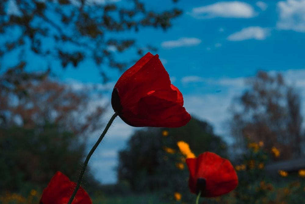 red flower under blue sky during daytime