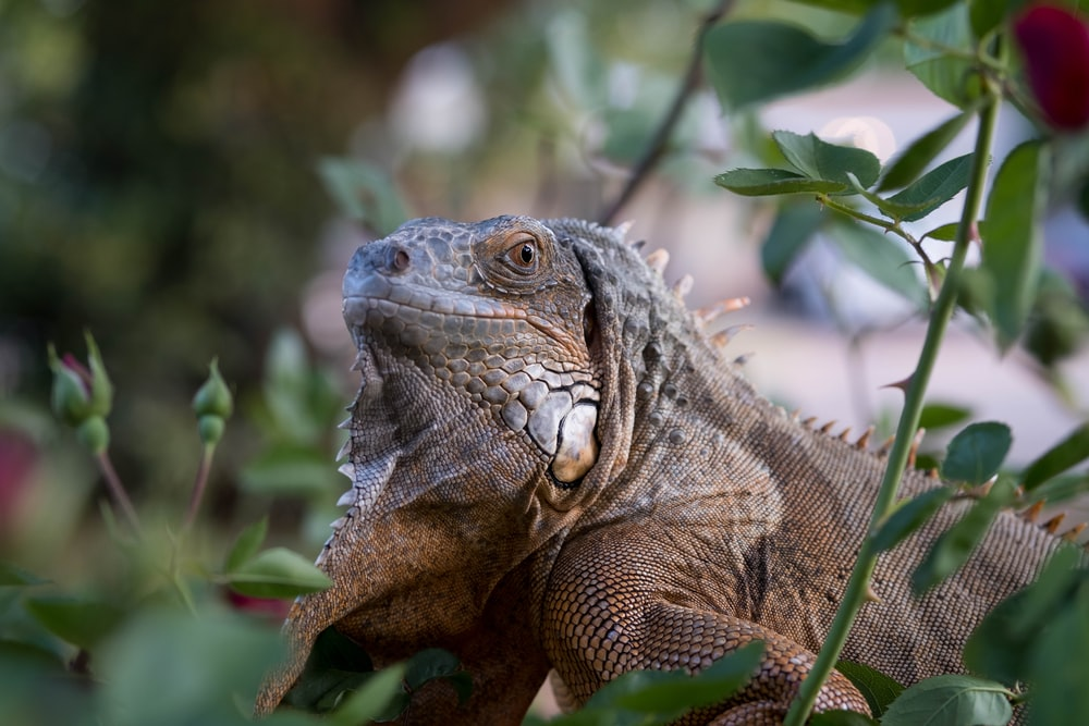 brown and gray bearded dragon