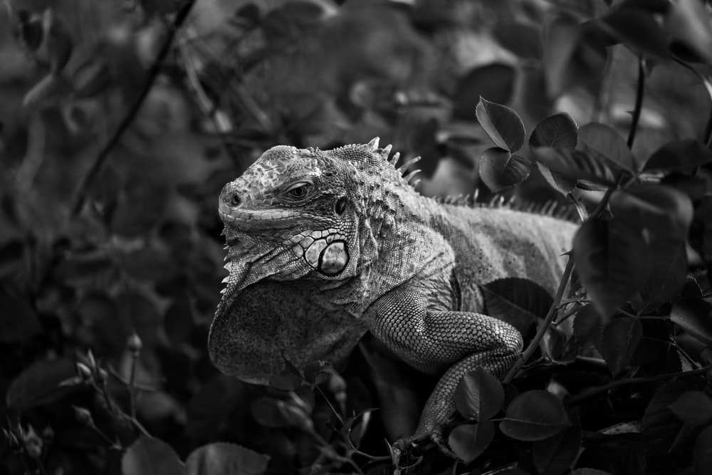 grayscale photo of a bearded dragon